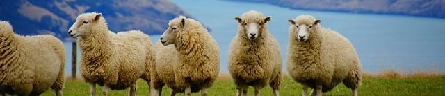LEDD – Les liens évasion du dimanche Moutons Nouvelle-Zélande